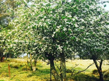 Renting out with online payment: 100 yr old Orchard - Nectarine Tree